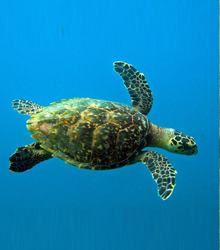 GREEN-SEA-TURTLE.png