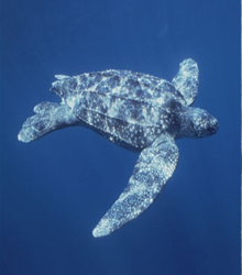 LEATHERBACK-SEA-TURTLE.png